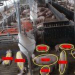 コーンテック、ICTを活用した養豚の最適育成モデル構築の実証実験開始を開始