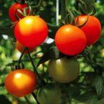 埼玉県北本市、特区を活用した農商連携。トマトをリキュールにした新商品を開発