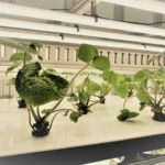 NEXTAGE・大洋化学、植物工場でのワサビ栽培の共同プロジェクトを開始