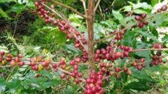 GPLAO、ラオスよりフェアトレード商品・幻のコーヒー豆ティピカを輸入