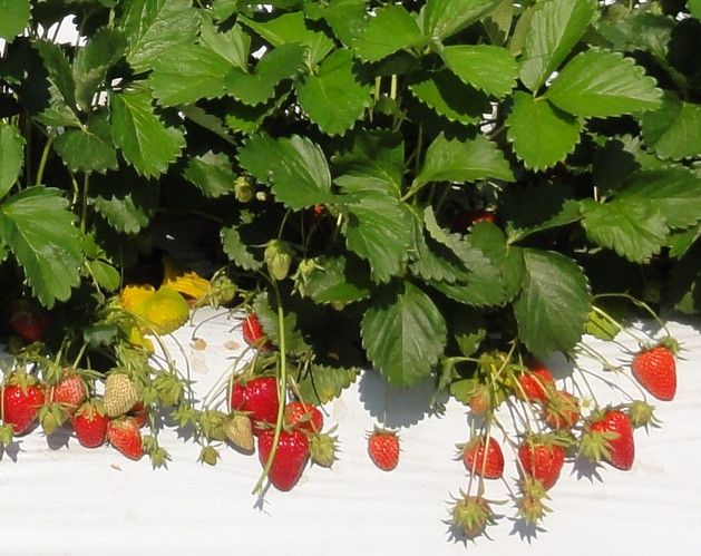アヲハタ、加工用イチゴの新品種「夢つづき2号」を農研機構と共同育成