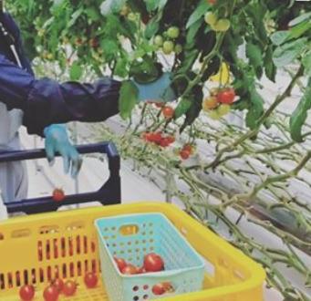 養液栽培によるヘタなしトマト「Plumシリーズ」の出荷が本格化へ