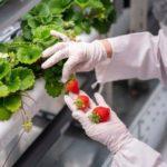 NTT西日本グループによるイチゴの植物工場「N.BERRY」の名称で販売開始