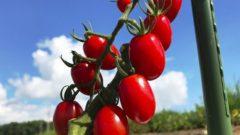 サントリーフラワーズ、家庭菜園用の野菜苗をリニューアル「ミニトマト・純あま」